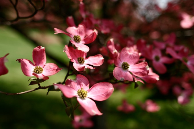 Dogwood-tree-flowers_-_West_Virginia_-_ForestWander